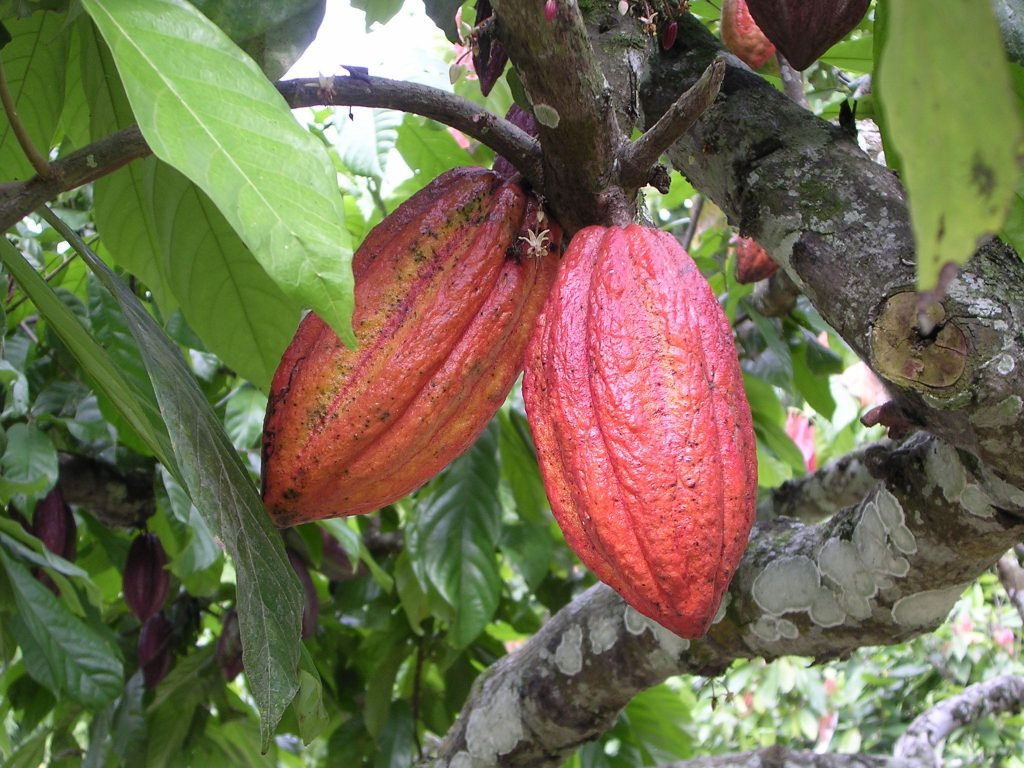 Edel, Finest Cocoa Variety